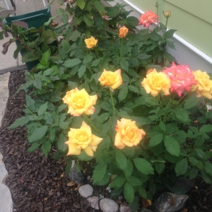 Rose bush with lots of yellow and a few pink blooms.