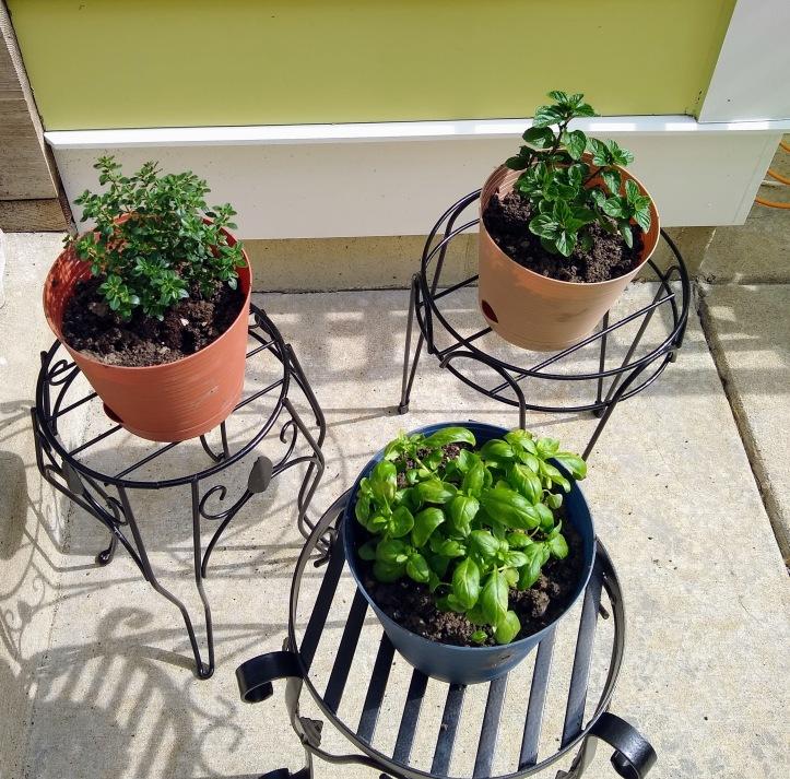 3 pots: Basil, Lemon Thyme and Spearmint.