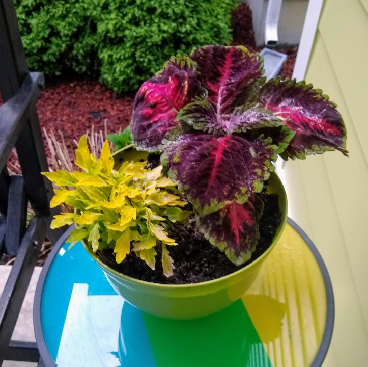 Flamethrower and Coleus.