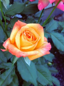 Close up of one yellow rose with pink edges.