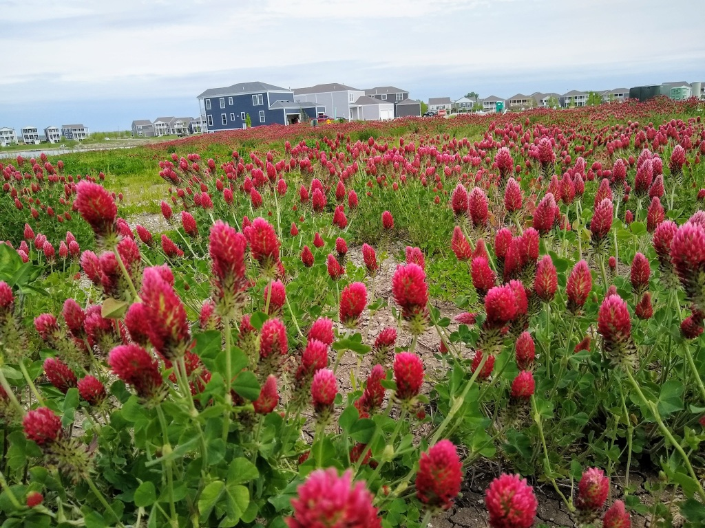 Wild red clover with house in background.
