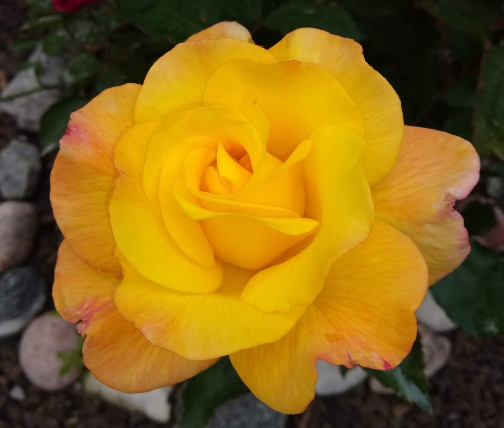 Large yellow rose
