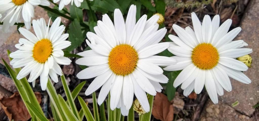 3 daisies.