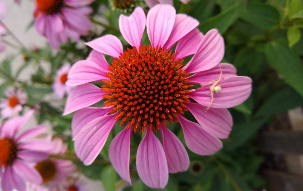 Purple cone flower with white spider on petal.