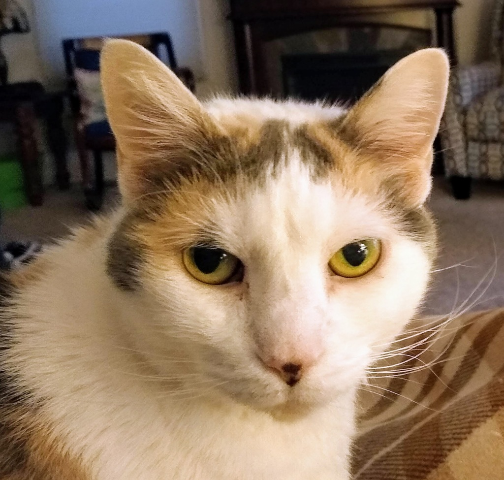 Calico cat looking at the reader.