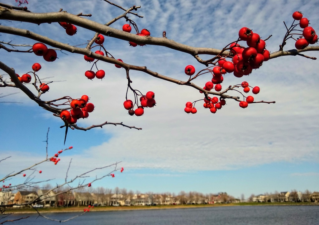 Branch with red berries with blue and clouded sky in the background