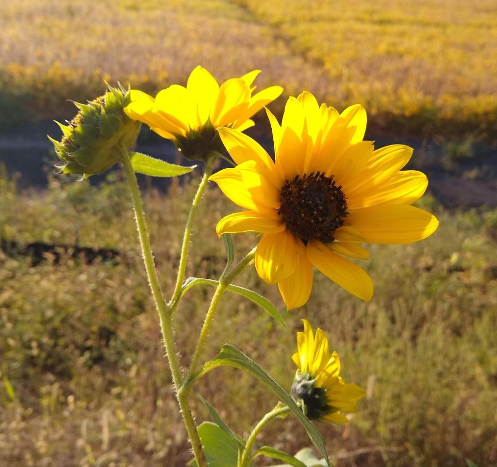 Yellow flower in sunlight