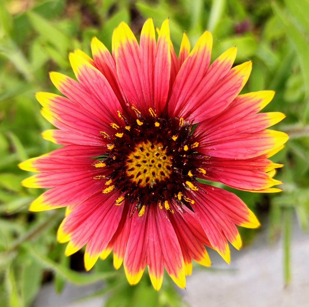 Red flower with yellow tips.