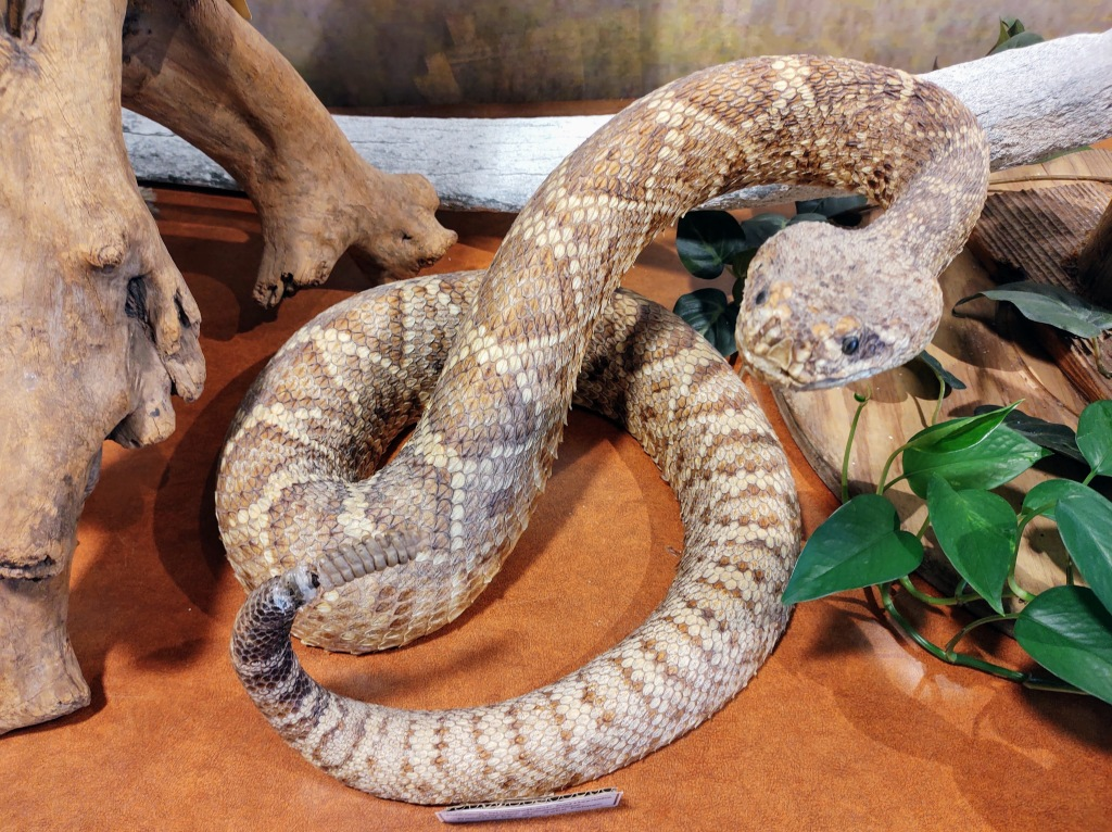 Rattlesnake - in display at Gulf State Park Nature Center.