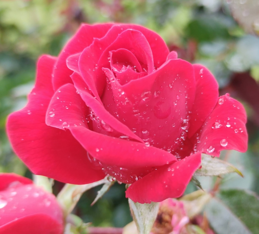 Pink rose with raindrops on it.