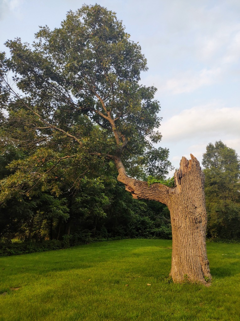 Large tree with main trunk cut off and one large branch off to the side as large as a tree.