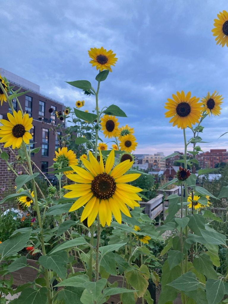 Sunflowers on rooftop garden.