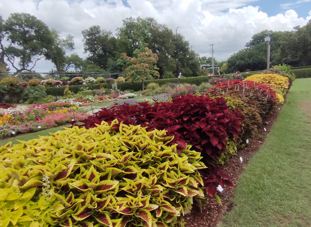 Row of plants with colored leaves.  Lots of red and light green.